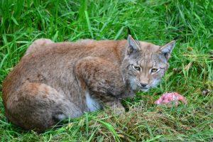 The Ocean Gallery - Wild Preserve Lynx